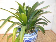 Care of Clivia House Plant | Easy Houseplants to Brighten Your Winter