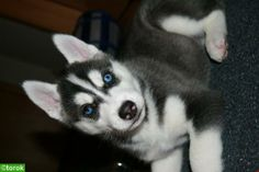 Siberian Husky puppy with big blue eyes