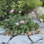 Erodium x variabile 'Flore Pleno'