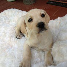 Mountain cur puppy