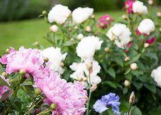 Power Perennials: Plants that Thrive No Matter What.  My favorites:  Peonies, Buddleia, Baptista, Artemesia, Catmint, Crane's Bill, and garden Phlox
