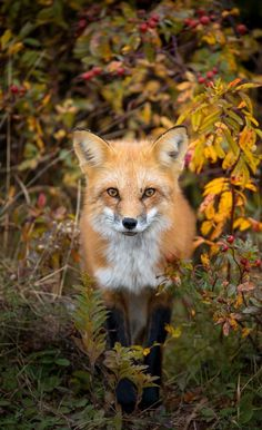A red fox stands among the autumn foliage.