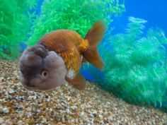 Goldfish Auction June 2014.  What great coloration on this Ranchu {tae}