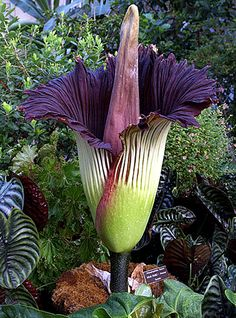 World's largest Flower from Sumatra  Titan Arum weighing over 110 lbs and growing up to 9' tall.
