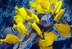 A mutually beneficial world under the sea. These tropical yellow fish adore this sea turtle What A Nice Day, Yellow Fish, Turtle Love, Mundo Animal, Underwater Photography, Wildlife Photography, Mellow Yellow, Bright Yellow, Color Yellow
