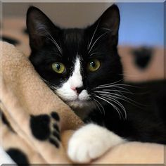 Tuxedo cat with the Golden eyes on the kitty blanket. Cute Cats And Kittens, Cool Cats, Kittens Cutest, Ragdoll Kittens, Tabby Cats, Funny Kittens, Bengal Cats, Kitty Cats, Animals And Pets