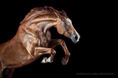 pferderecht anwalt ackenheil pferderechtskanzlei bundesweite rechtsberatung -  https://www.tierrecht-anwalt.de Pferderechtsblog https://der-tieranwalt.de  Wiebke Haas | animal photography » Equine Art