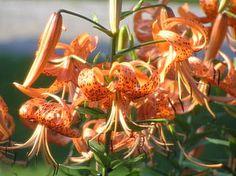 Tiger Lilies (lilium lancifolium): Lilium lancifolium (syn. L. tigrinum) is an…
