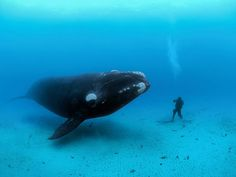 Southern Right Whale,