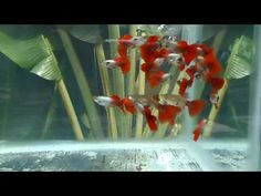 38 Best Guppy Fish images in 2017 | Guppy, Friends family, Tropical Fish