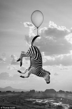 ... while a zebra floats away courtesy of a helium balloon