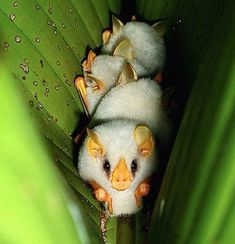Reminds me of the movie, Gremlins. Little Albino Bats Sleeping