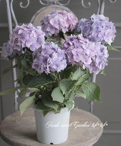 紫陽花 『星がすり』
