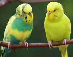 The budgie on the left is either a Light Green Greywing or Green Dilute, I can't be sure wtihout seeing the wings.  Are there any Dilute experts out there who can confirm which?
