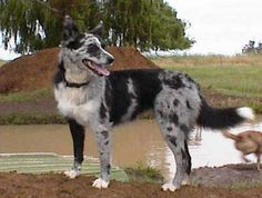 Pictures of the Koolie along with bios on the dogs. Page 1 Australian Dog Breeds, Australian Bulldog, Australian Shepherd Dogs, Dog Breeds Pictures, Dog Photos, Dog Pictures, Beautiful Dogs, Animals Beautiful, Koolie Dog