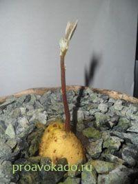 Как посадить и вырастить авокадо в домашних условиях