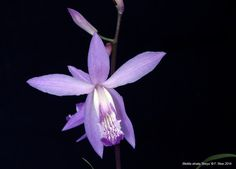 Orchid: Bletilla striata 'Soryu' - Flickr - Photo Sharing!