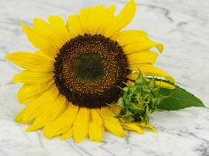 Arikara Sunflower is a native variety that produces 10-foot tall plants with many beautiful large, bright yellow flowers and edible seeds.