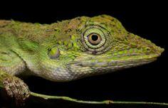 Green lizard (Aphaniotis acutirostris)   Flickr - Photo Sharing!