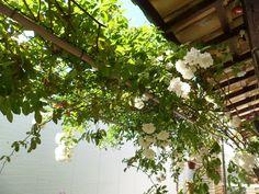 RoAguiar: meu jardim, ponte de rosas