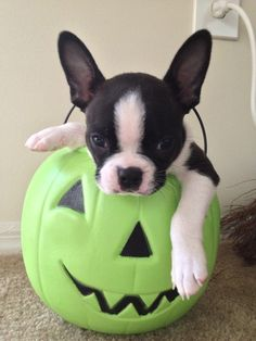 New | Boston Terrier Friendzy..Halloween is just around the corner...can't wait for our annual puppy costume parade in our neighborhood before all of the human babies come out to trick or treat