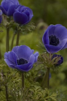 Anemone coronaria 'Mr Fokker' and my only regret is that it's not bone-hardy in my USDA zone 4 garden but hope springs eternal