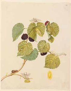 http://www.plantilustrations.org/illustration.php?id_illustration=350965