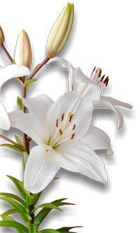 AZUCENA http://www.plantas-medicinal-farmacognosia.com/productos-naturales/azucena-propiedades/: