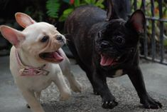 """""""I Just Pee'd on the New Carpet!"""".....""""Me Too........Run""""!!!    Guilty French Bulldogs."""
