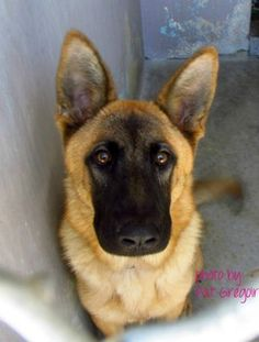 This German shepherd is a hunk: Friendly dog needs a home right now. Already scheduled to be killed - KILL DATE 9-9-14. PLEASE! Look into his eyes!