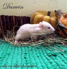 Darwin chs in blue hamster Darwin, Blue, Animals, Animales, Animaux, Animal, Animais