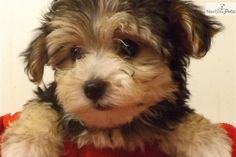 morkie puppies | Meet Rue a cute Morkie / Yorktese puppy for sale for $600. Rue