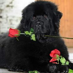 love newfies