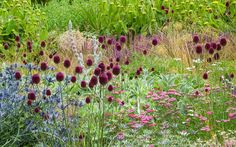 Allium sphaerocephalon with Eryngium x zabelii and Achillea millefolium 'Cerise Queen' in a mixed border at Broughton Grange. Design Tom Stuart-Smith