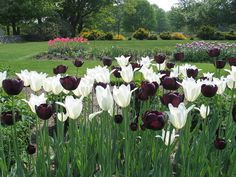 Spring tulip display -- Tulip 'Queen of Night', Tulip 'Triumphator' and 'Nuit Blanche' Tulip mixture
