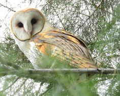 Barn Owl -111616- (11)