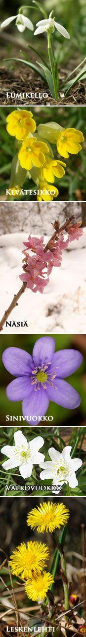 Kevät - kukka opas, muistipeliä, kevät lauluja