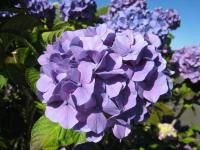 CLose up picture of hydrangea flowers.JPG