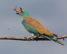 Rolieiro-comum / European roller | Flickr - Photo Sharing!