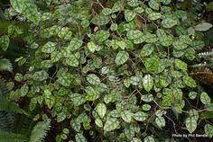 Taranaki Educational Resource: Research, Analysis and Information Network - Carpodetus serratus (Putaputaweta) Tall Shrubs, Trees And Shrubs, Small Trees, Native Plants, Banks, Garden Ideas, Stage, Marble, Leaves