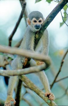 Macaco Prego: Amazon state has the largest tropical rainforest in the World, atracting tourists from all over to see and experience its beauties. #Brazil