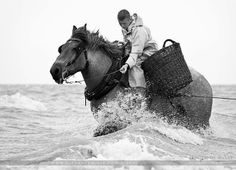 """During the months of February through May, and again in September through November, the """"Paardenvissers"""" or fishermen on horseback from Oostduinkerke, Belgium have taken their Belgian (Brabant or Brabançon) horses, planks and nets into the breast-deep water of the North Sea trolling for shrimp since the 17th Century."""
