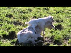 #goatvet likes this video of the kid playing with its mother but wold like to see the doe in better condition
