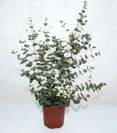 Eucalyptus in pot