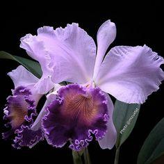 "1,338 Likes, 95 Comments - Mizue Tateishi (@mizuetat) on Instagram: ""#Cattleya #Orquidea #orchidee #orchids #ptk_flowers #ponyfony_flowers #quintaflower #9vaga9…"""