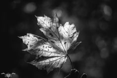 Autumn, Fall, Plant Leaves, Plants, Fall Leaves, Autumn Leaves, Monochrome, Nature, Flora