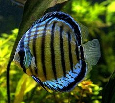 Discus fish has been my favorite type of aquarium fish since I ve seen them for the first time. You need to spend time and money if you want to maintain a Discus fish aquarium at home. Tropical Freshwater Fish, Freshwater Aquarium Fish, Tropical Fish, Discus Aquarium, Discus Fish, Big Aquarium, Underwater Creatures, Ocean Creatures, Carpe Koi