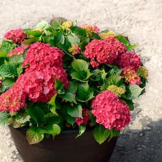 Growing hydrangeas in containers makes it easy to move them as needed.