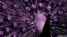 purple peacock tattoo this would look good with lace