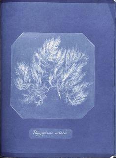 Polysiphonia violacea. (1843-1853)